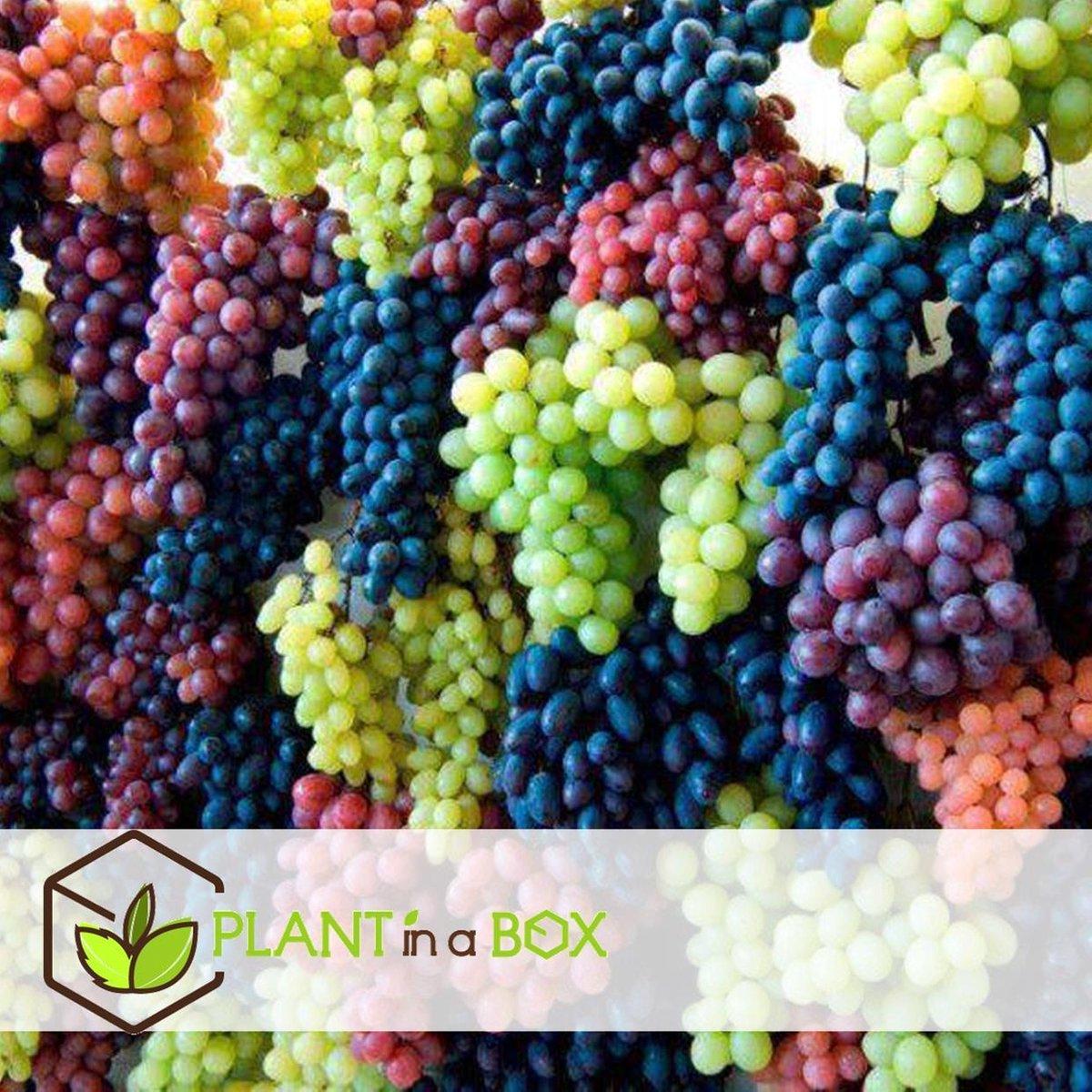 Plant in a Box - Set van 3 verschillende druivenplanten - Pot ⌀9 cm -Hoogte ↕ 25-40cm