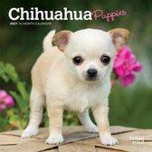 Chihuahua Puppies 2021 Mini 7x7