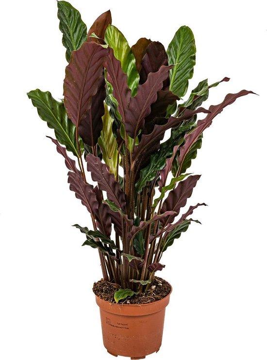 Calathea 'Tropistar | Luchtzuiverende Calathea per stuk - Kamerplant in kwekerspot ⌀12 cm - ↕45 cm