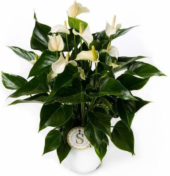 Anthurium White Champion medium