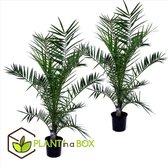 Plant in a Box - Set van 2 Phoenix Canariensis - Canarische Dadelpalm - Pot ⌀19 cm -Hoogte ↕ 100-120cm