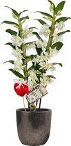 Orchidee van Botanicly – Cadeau! Witte Bamboo Orchid ® in keramiek pot 'Yume' met rode hartje als set – Hoogte: 55 cm, 2 takken, witte bloemen – Dendrobium nobile Apollon