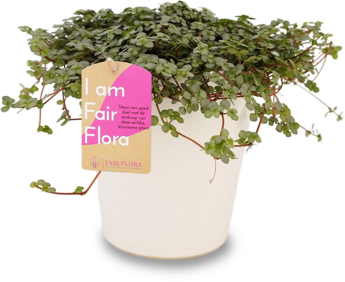 Duurzaam geproduceerde Kamerplant van FAIR FLORA® - 1 x Pilea Glauca in de witte keramiek sierpot - Duurzaam geproduceerde Kamerplant van FAIR FLORA® 12 cm
