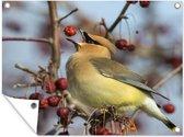 De cederpestvogel vangt een rode bes op tuinposter 80x60 cm - Tuindoek / Buitencanvas / Schilderijen voor buiten (tuin decoratie)