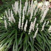 100 x Liriope muscari Monroe White - Leliegras in 9x9cm pot (stuksprijs €3,29)