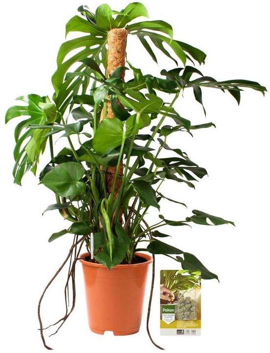 Pokon® Monstera / Gatenplant incl. watermeter en voeding - hoogte ↕120 cm