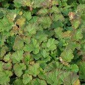 6 x Rubus 'Betty Ashburner' - Sierbraam pot 9x9cm