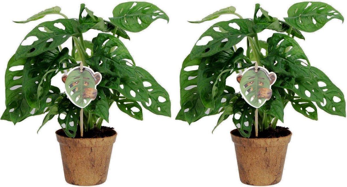 Kamerplanten van Botanicly - 2 × Monstera Monkey Mask - Hoogte: 25 cm - Monstera Obliqua Monkey