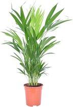 Dypsis Lutescens Areca Palm - ↑ 120-130cm - Ø 24cm