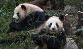 Healing China - Liberating Panda Bears in the People's Republic of China