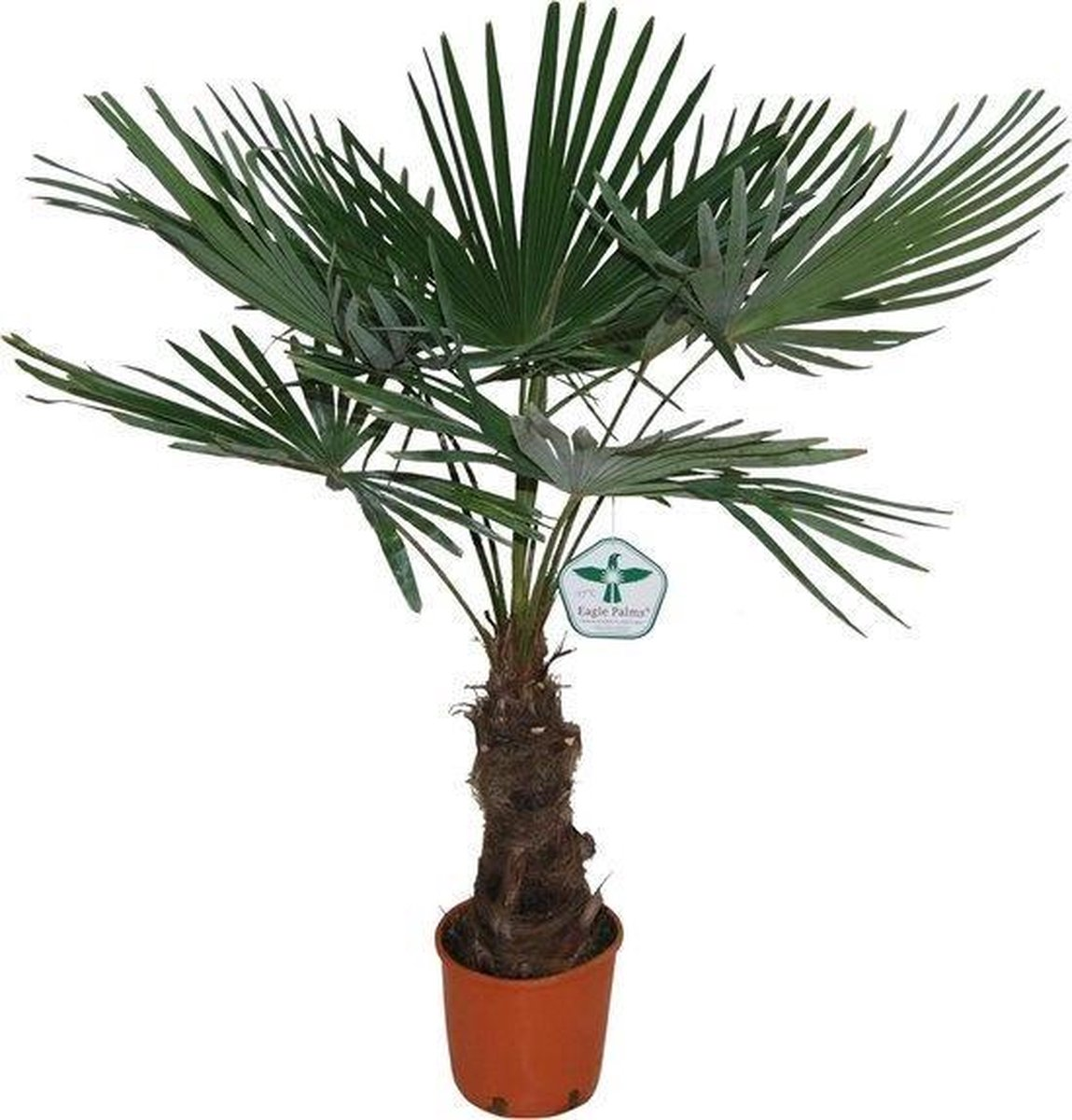 Winterharde plamboom - Trachycarpus fortunei  130cm