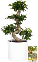 Pokon® Ficus Bonsai / Chinese Vijg incl. watermeter en voeding - in Mica Era Pot Wit - hoogte ↕70 cm