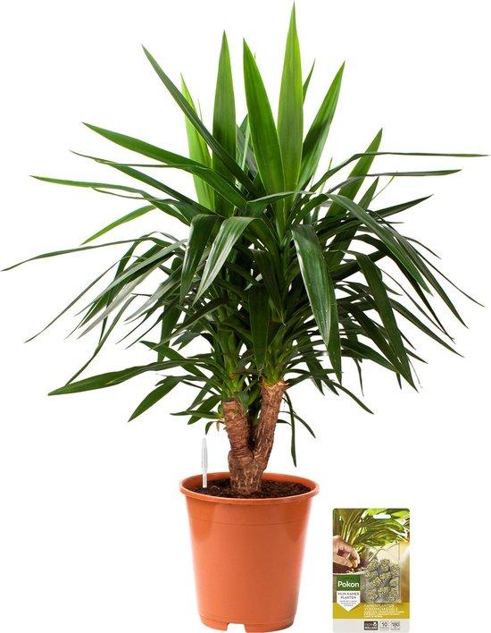 Pokon® Yucca / Palmlelie incl. watermeter en voeding - hoogte ↕100 cm