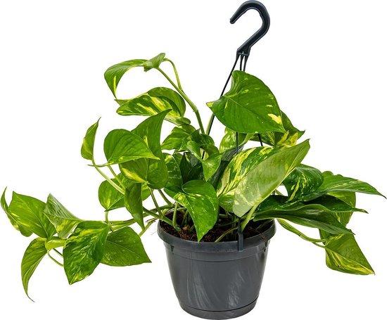 Scindapsus 'Aureum' in hangpot per stuk | Epipremnum - Kamerplant ⌀17 cm - ↕25 cm