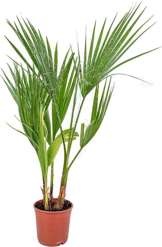 Washingtonia 'Robusta' - Mexicaanse Waaierpalm per stuk | Kamerplant ⌀14 cm - ↕50-60 cm