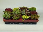 Sedum mix 12 stuks (9cm, rotsplanten)