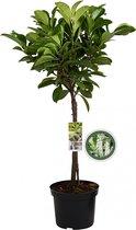 Laurierkers op stam - Prunus Laurocerasus Etna - 85 cm
