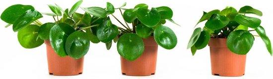 Pannenkoekplant (Peperomia) - plant + pot is 25 cm hoog - per 3 stuks