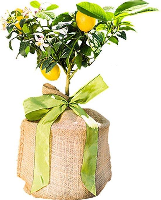 Citroenboompje geleverd met jute om de pot inclusief zijde strik. Leuk cadeau! Kantoor Huiskamer plant.
