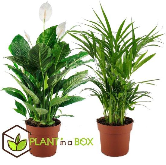 PLANT IN A BOX - Areca + Spathiphyllum - Set van 2 luchtzuiverende kamerplanten - pot ⌀17 cm - Hoogte ↕ 65 - 75 cm