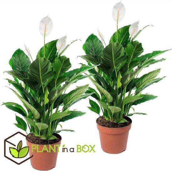 PLANT IN A BOX - Spathiphyllum lepelplant - Set van 2 kamerplanten - pot ⌀17 cm - Hoogte ↕ 60 - 70 cm