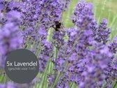 5x Lavendel Paars (Lavandula angustifolia) Hoogte 20 - 30 cm (geschikt voor 1 m²)