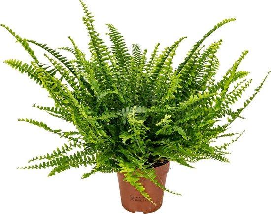 Krulvaren | Nephrolepis - Luchtzuiverende kamerplant in kwekerspot ⌀12 cm - ↕40 cm