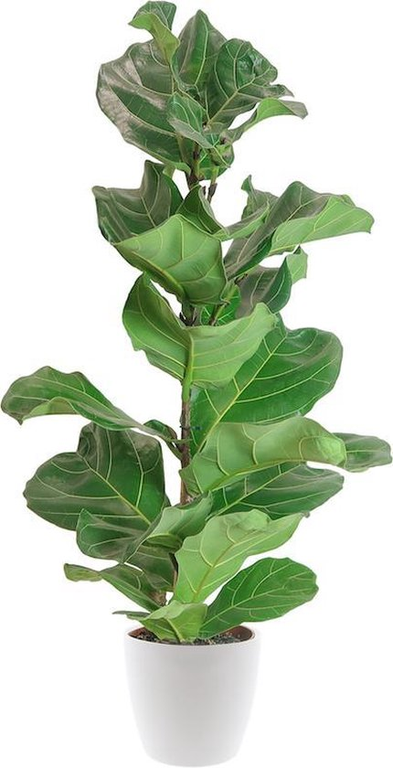 Ficus Lyrata incl. gratis witte pot