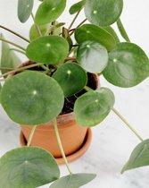 Pannenkoekenplant Pilea Peperomioides - 2 stuks