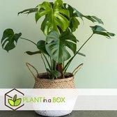 PLANT IN A BOX Monstera Deliciosa - Gatenplant - kamerplant - pot ⌀17 cm - Hoogte ↕ 60-70CM