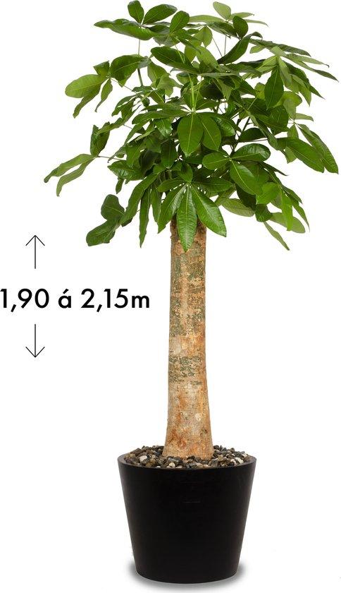 Wout (Pachira Aquatica) Zwart/Grijs | ↕ +/- 2,05m | Grote kamerplant | Luchtzuiverend | Gemakkelijk