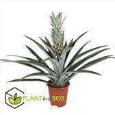 Plant in a Box - Ananasplant met eetbare vrucht - kamerplant - Pot ⌀14cm - Hoogte ↕  45-55cm
