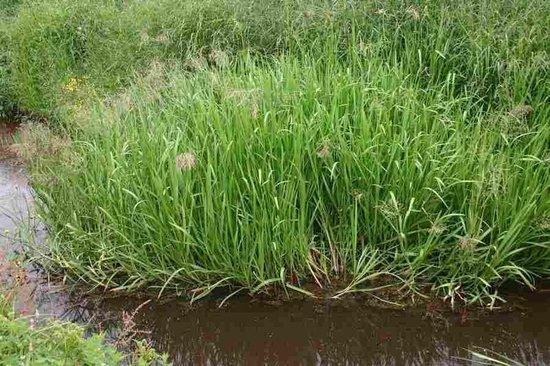 bol.com | 6 x Glyceria Maxima - Liesgras pot 9x9cm