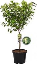 Pluimhortensia Limelight op stam - Hydrangea Paniculata - 85cm