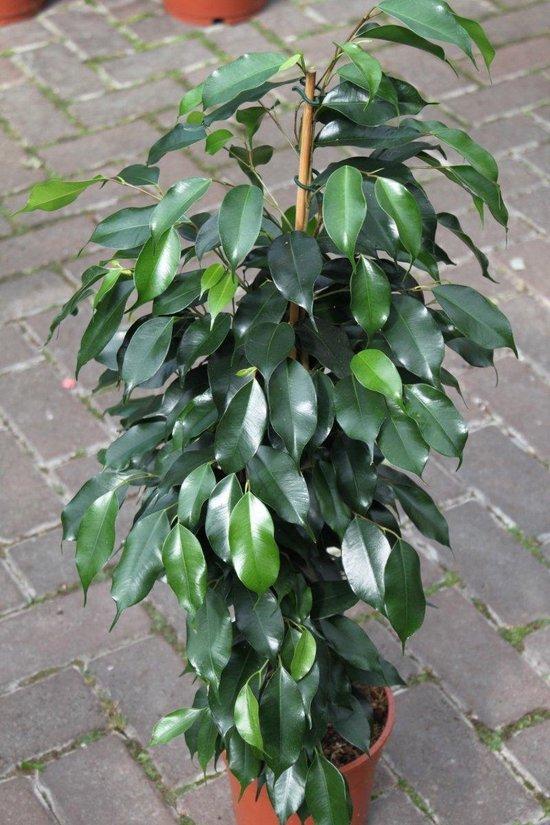 Gardenmarketplace Kamerplanten Ficus Benjamina Treurvijg, Groot