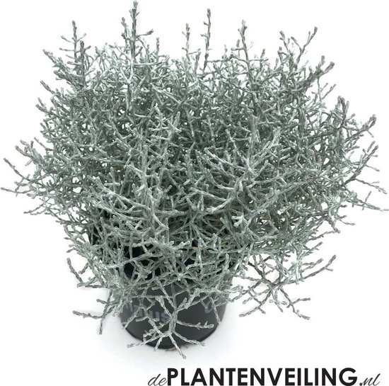 Calocephalus Brownii (Zilverstruikje) - 10 planten - potmaat 10,5 cm