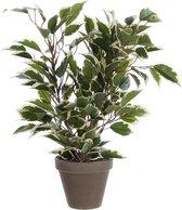 Mica Decorations - Ficus Natasja H40D30 Groen Bont In Pot Stan D11.5 Grijs