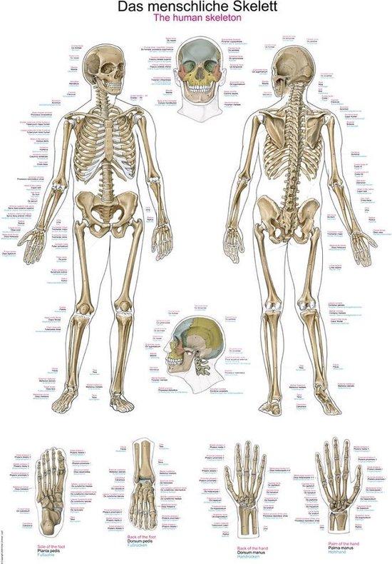 Betere bol.com | Het menselijk lichaam - anatomie poster skelet (Duits QL-67