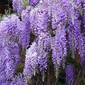 Wisteria sinensis 'Prolific' - Blauwe regen 80-100 cm in pot