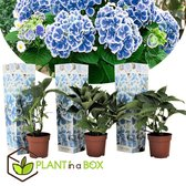 Plant in a Box - Hydrangea bicolor 'Bavaria' - 2-kleurige Hortensia's - Pot ⌀9cm - Hoogte ↕ 20-30cm