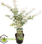 Plant in a Box - Acer 'Ukigumo' - Exclusieve Witte Japanse Esdoorn - Pot ⌀19 cm - Hoogte ↕ 50 - 60cm