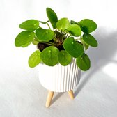 Find the perfect Pilea for you