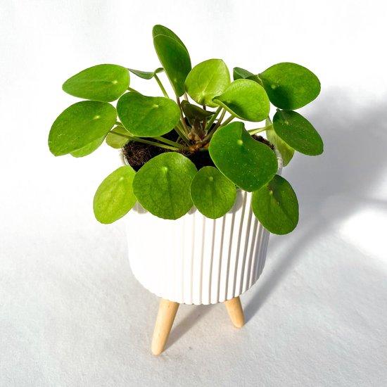 Pilea Pannekoekenplant met pot op pootjes ⌀ 12 cm - ↕ ca. 27 cm (Trendy, Urban jungle, Kamerplant, Cadeau)