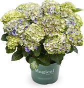 Hortensia Magical Jewel tuinhortensia blauw - 5 liter pot