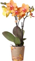 Kolibri Orchids | Oranje phalaenopsis orchidee potmaat Ø9cm | Jewel Dubrovnik