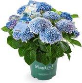 Hortensia tuinplant - Magical ® - Revolution - blauw - 5 liter