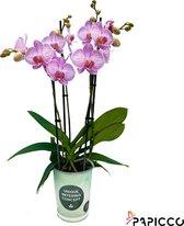 Papicco TROPICAL Colibri - Orchidee - 4-tak - Phalaenopsis - Roze/Wit