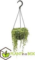 Plant in a Box - Senecio Rowleyanus - Erwtenplant