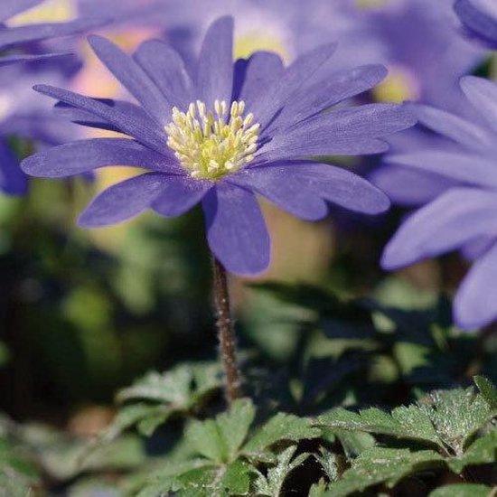Anemone (Anemoon) bloembollen - Blauw - 2 x 100 stuks