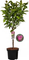 Magnolia Susan op stam - 85 cm
